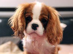 Flame-Cavalier-King-Charles-Spaniel